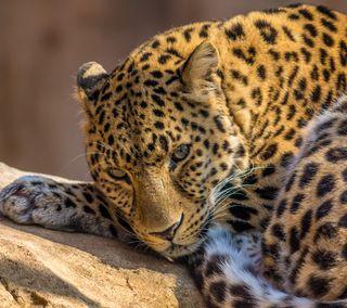 Обои на телефон мех, леопард, кошки, кошачий, животные, leopard qhd