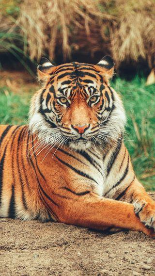 Обои на телефон хищник, дикие, тигр, кошки, животные, hd, 1080p