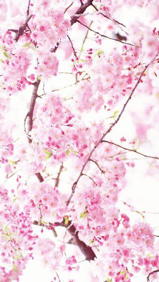 Обои на телефон расцветает, вишня, цветы, розовые, природа, cherry blossoms