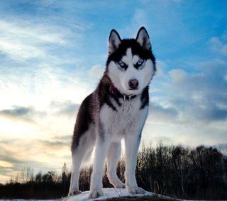 Обои на телефон хаски, собаки, снег