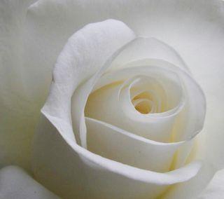 Обои на телефон лепестки, романтика, розы, новый, любовь, листья, крутые, белые, white rose, love