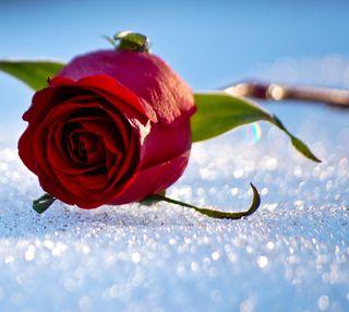 Обои на телефон чувства, снег, розы, милые, любовь, snow rose, love