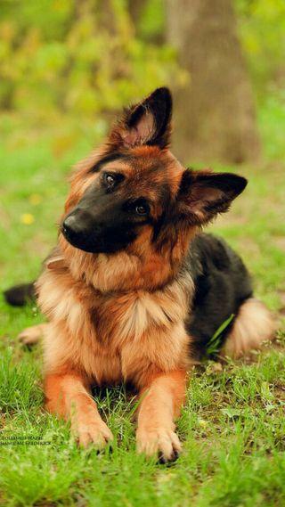 Обои на телефон немецкие, собаки, hd, german shepherd