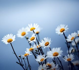Обои на телефон маргаритка, цветы, свет, природа, небо, hd, 4k