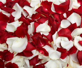 Обои на телефон лепестки, цветы, розы, природа, rose petals