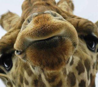 Обои на телефон мягкие, лицо, жираф, дикие, safari, muzzle