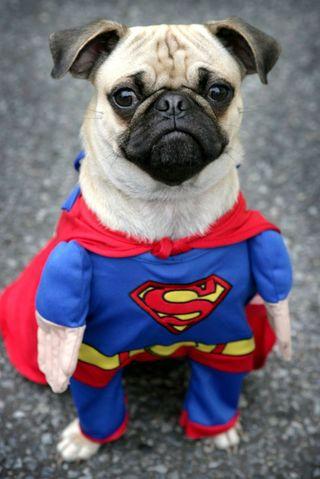 Обои на телефон супер, собаки, мопс, забавные, милые, марвел, герой, super man, marvel, i4