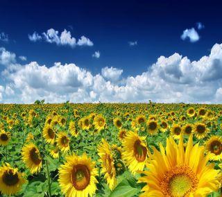 Обои на телефон подсолнухи, солнце, природа