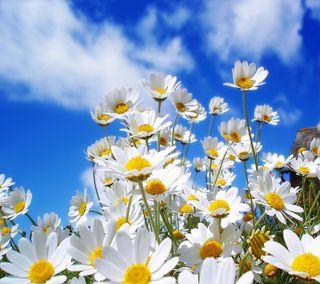 Обои на телефон маргаритка, приятные, взгляд, весна, spring daisy