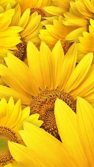 Обои на телефон подсолнухи, цветы, природа, желтые