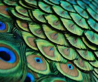 Обои на телефон павлин, перья, перо, peacock feather