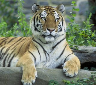 Обои на телефон хищник, тигр, природа, дикая природа, posing