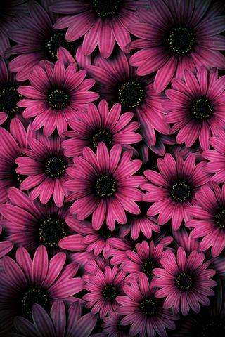 Обои на телефон маргаритка, цветы, фиолетовые, ромашки, розы, розовые, подсолнухи, красочные, rose daisies, feminine