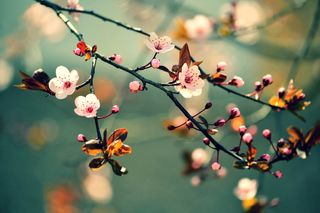 Обои на телефон сакура, цветы, цвести, природа, листья, дерево