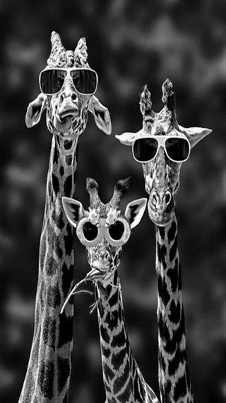 Обои на телефон солнечные очки, крутые, забавные, giraffes