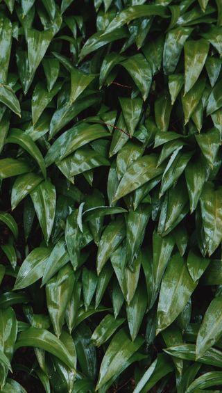 Обои на телефон мокрые, листья, lush, greens, glazed