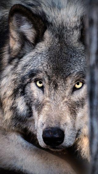 Обои на телефон хищник, дикие, волк