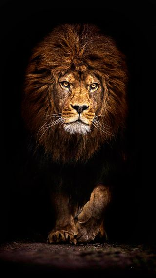 Обои на телефон лев, черные, король, джунгли, land, king of the jungle, hd, fearless