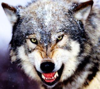 Обои на телефон злые, снег, волк