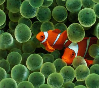 Обои на телефон рыба, милые, клоун, дизайн, hd nexus, cute fish, clown fish hd, clown fish, 2012