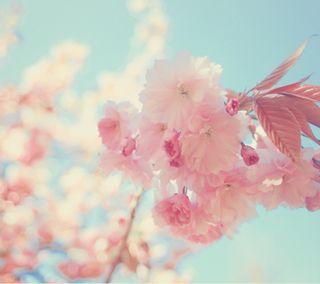 Обои на телефон вишня, цветы, цвести, симпатичные, расцветает, лето, cherry blossoms