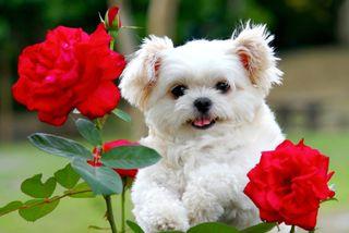Обои на телефон щенки, собаки, розы, природа, милые, маленький, красые, животные, little dog, 480x320px