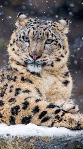 Обои на телефон леопард, снег, 4k