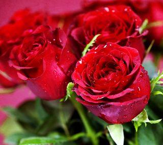 Обои на телефон цветы, роса, розы, красые, капли