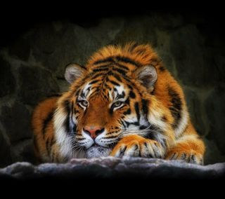 Обои на телефон тигр, кошки