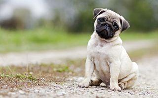 Обои на телефон собаки, милые, малыш, зеленые, глаза, белые, mops, braun, baby dog, 4k