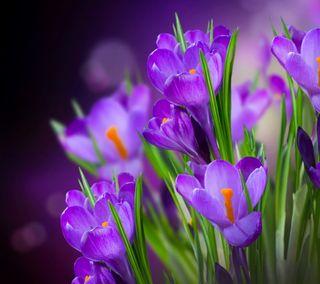 Обои на телефон весна, цветы, фиолетовые, crocuses
