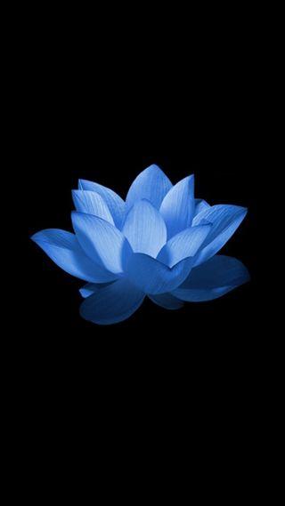 Обои на телефон лотус, цветы, синие