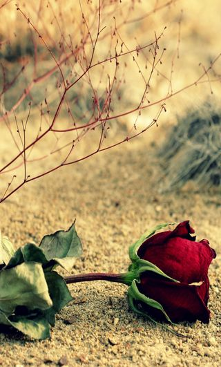 Обои на телефон пустыня, розы, desert rose