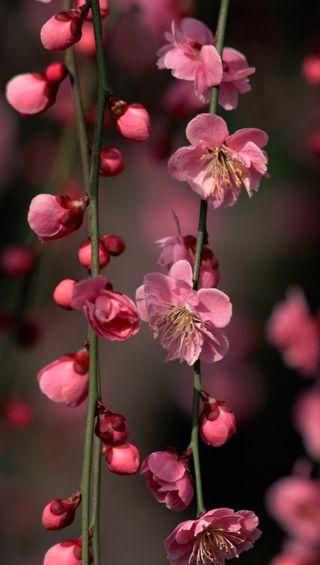 Обои на телефон вишня, цветы