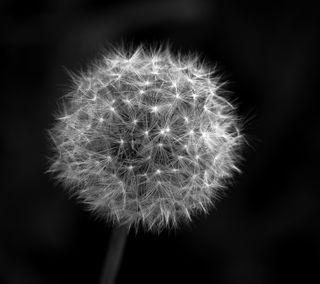 Обои на телефон сад, черные, цветы, белые, blowball