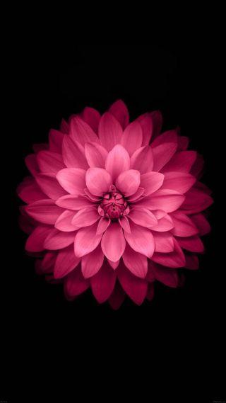 Обои на телефон лотус, черные, цветы, фиолетовые, страсть, розовые, растения, оригинальные, pink passion, pink flower