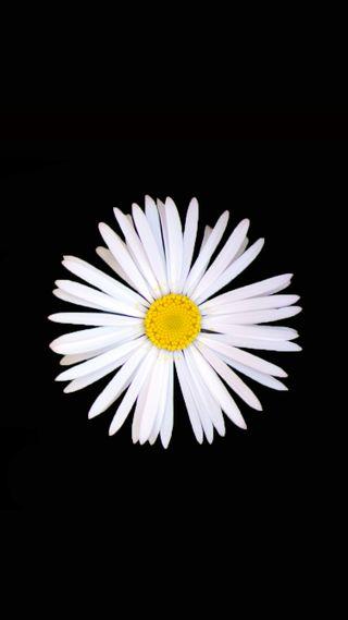 Обои на телефон маргаритка, черные, цветы, белые