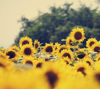 Обои на телефон подсолнухи, цветы, винтаж, vintage sunflowers
