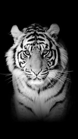 Обои на телефон тигр, белые, sdhetjh, hhdszh