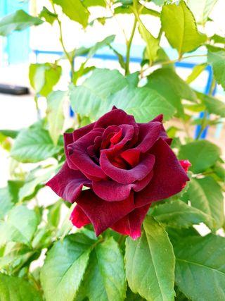 Обои на телефон цветы, розы, розовые, природа, красые, roza, note 8, lincoln, cicek