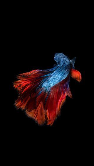 Обои на телефон питомцы, синие, рыба, океан, море, красые, животные, вода, hd, betta