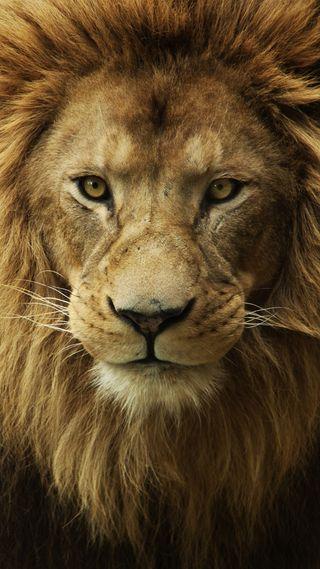Обои на телефон дикие, лев, король, животные, 1080p