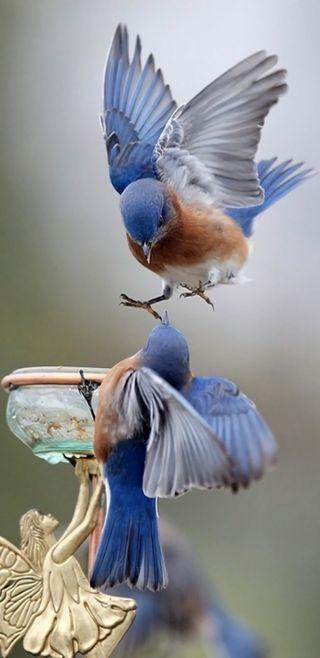 Обои на телефон птицы, синие, пара