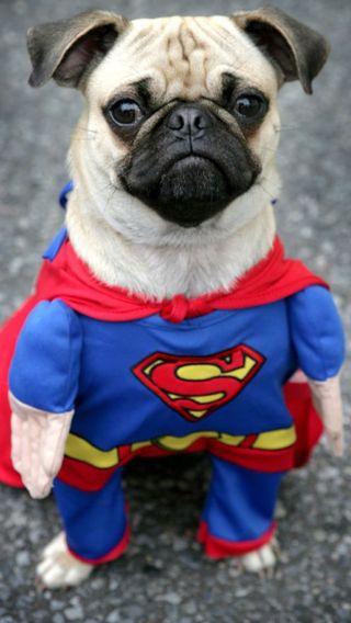 Обои на телефон супер, собаки, мопс, забавные, милые, марвел, герой, super man, marvel, i6p