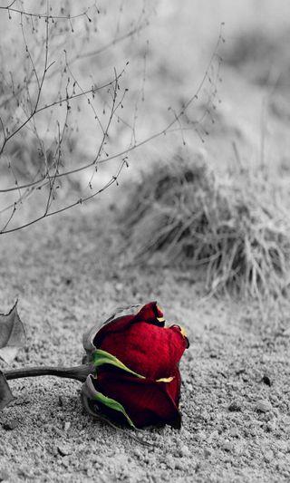 Обои на телефон одиночество, черные, цветы, ты, розы, любовь, красые, белые, rose hd, love