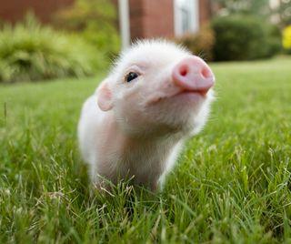 Обои на телефон свинка, милые, маленький, животные, little piggy