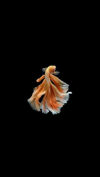 Обои на телефон черные, рыба, оранжевые, желтые, боец, белые, fighter fish 6