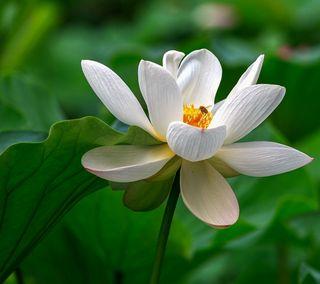 Обои на телефон лотус, цветы, природа, прекрасные, листья, зеленые, белые