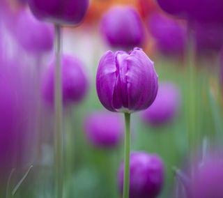 Обои на телефон тюльпаны, цветы, фиолетовые