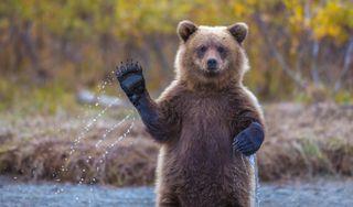 Обои на телефон медведи, милые, медведь, grizzly, cute waving bear